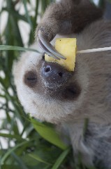 sloth eating 320x240