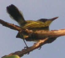 tody_flycatcher